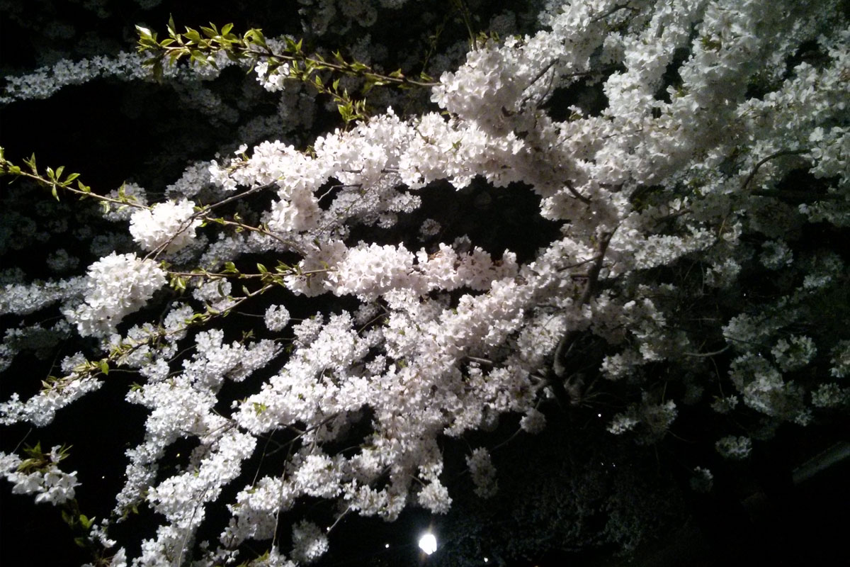 Cherry Blossoms, Cherry Hill, Central Park
